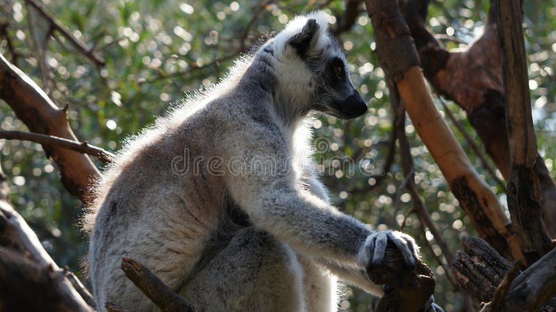 Portrait of the ring-tailed lemur royalty free stock photo