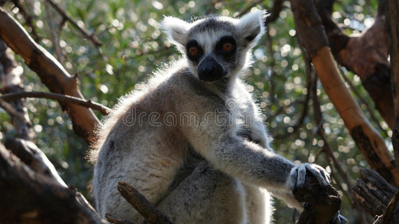 Portrait of the ring-tailed lemur stock photo