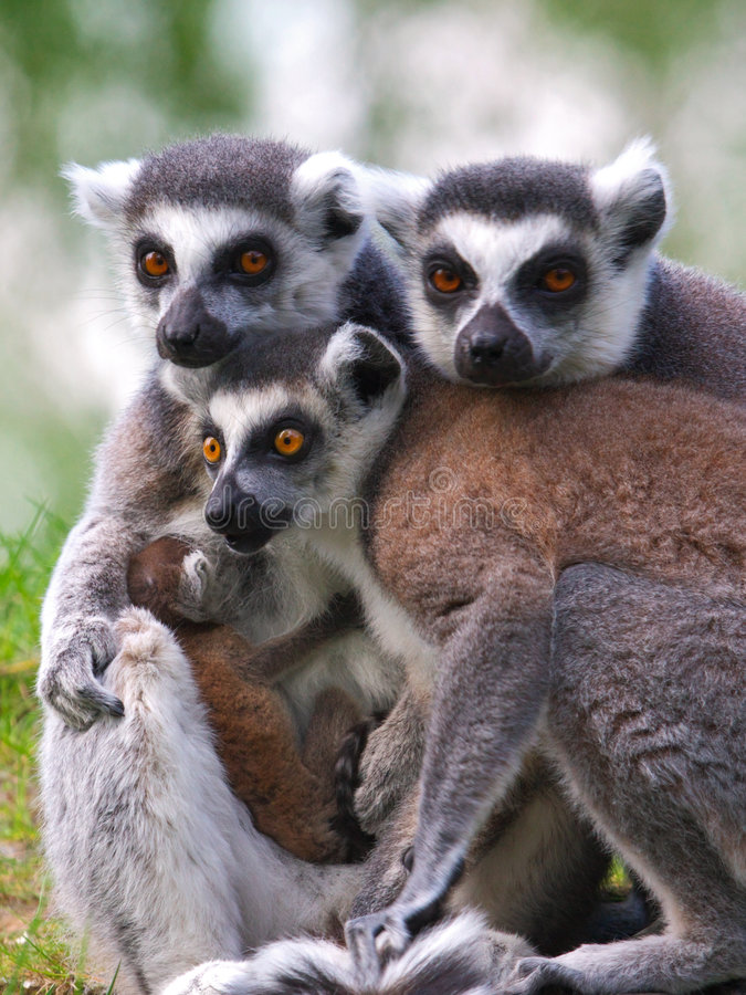 Portrait of a Ring-tailed lemur family with baby. Family portrait of a Ring-tailed lemur family with just born baby stock photos