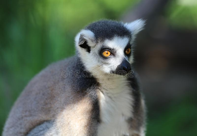 Portrait of a Ring Tailed Lemur stock photo