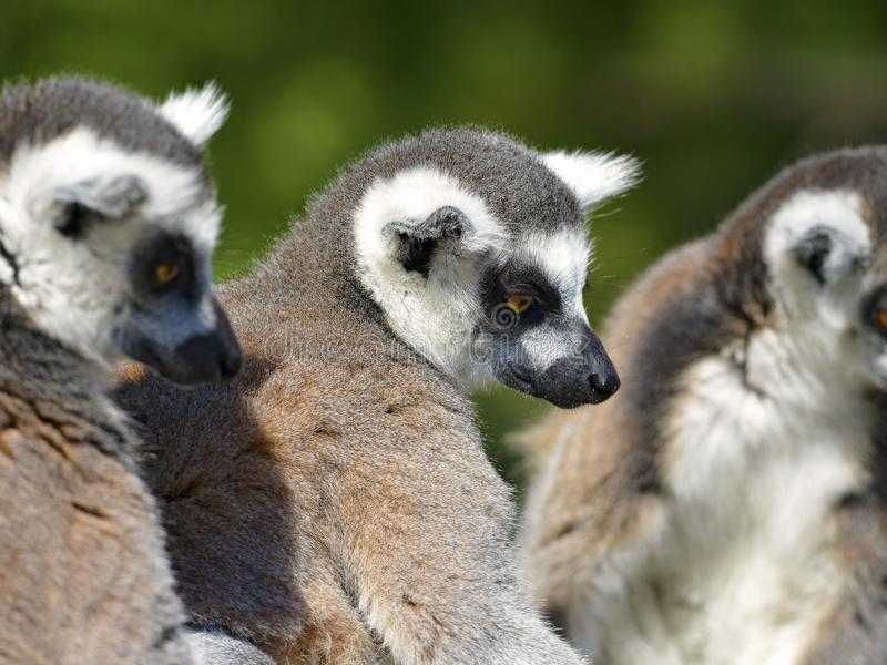 Portrait ring-tailed lemurs. Lemur catta stock photos