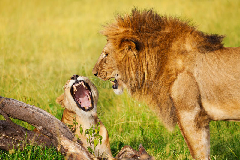Portrait of roaring lion and lioness at savannah royalty free stock image