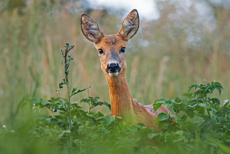 Portrait of roe deer doe female in summer royalty free stock photo