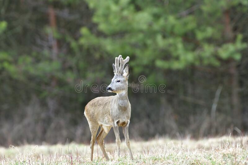 Roe deer with growing antlers with fresh grass in mouth on meadow. Portrait of a roe deer with growing antlers close up on a meadow stock photo