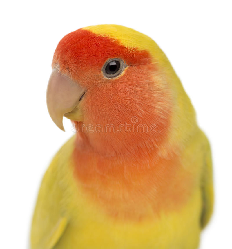 Portrait Of Rosy-faced Lovebird Royalty Free Stock Photo