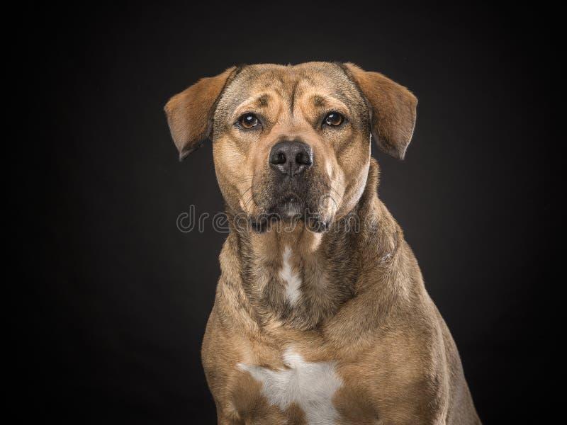Portrait of a rottweiler mix dog on a black background. Portrait of a blond labrador rottweiler mix dog on a black background royalty free stock image