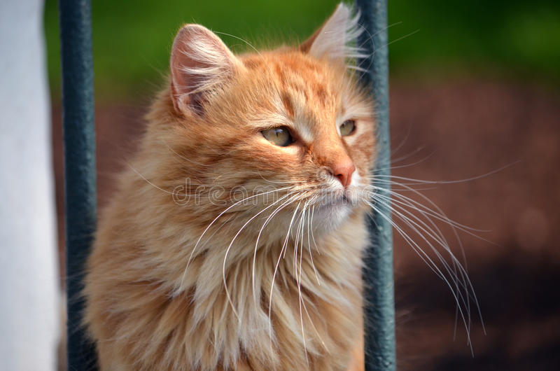 Portrait rouge de chat fait à Istanbul, Turquie photo stock
