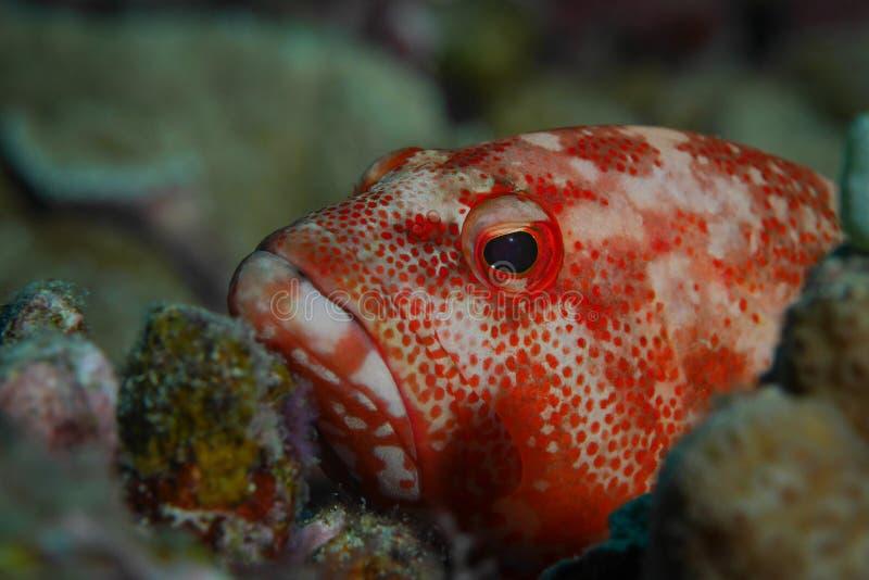 Portrait rouge de mérou photo libre de droits