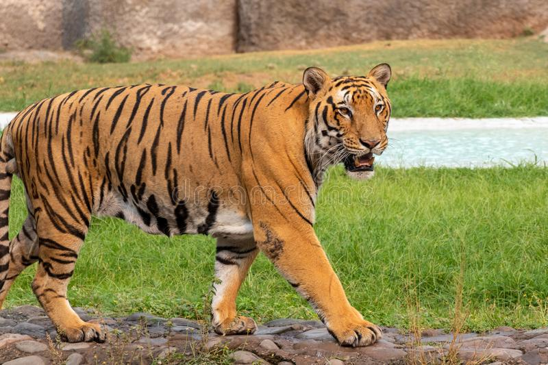 Portrait of a Royal Bengal Tiger royalty free stock photo
