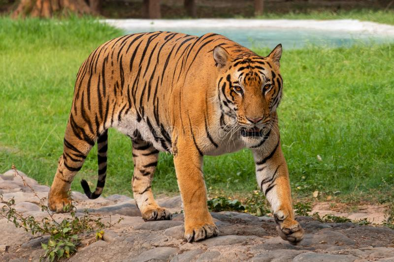 Portrait of a Royal Bengal Tiger royalty free stock photography