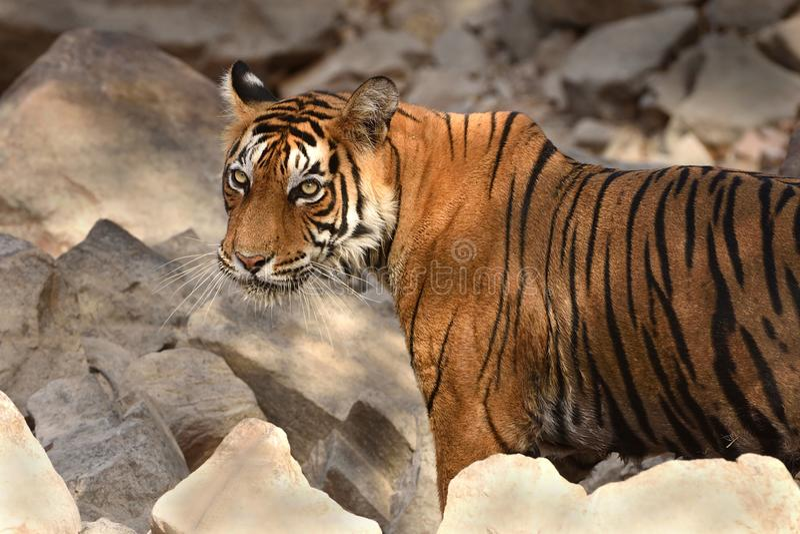Portrait of Royal Bengal Tiger. Looking towards camera in Ranthambhore National Park stock photography