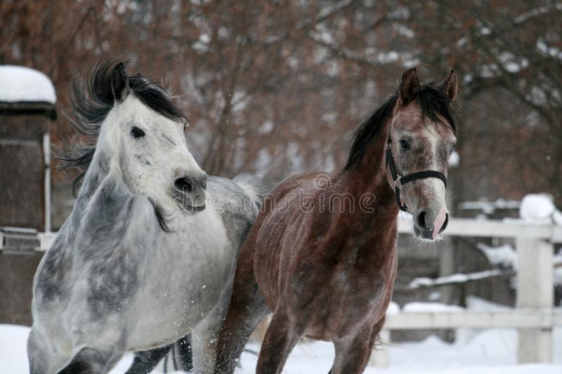 Portrait of a running arabian horse in winter stock images