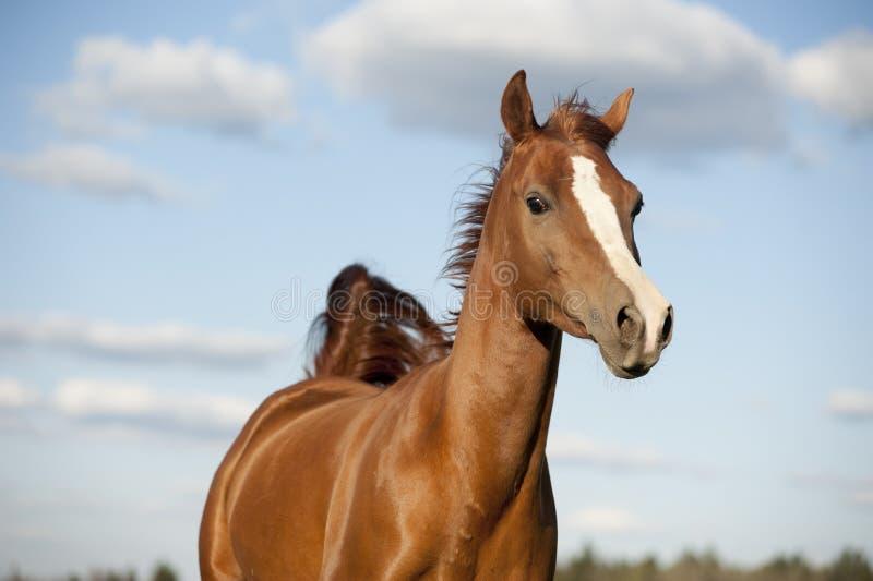 Portrait of running bay arabian horse in summer royalty free stock image