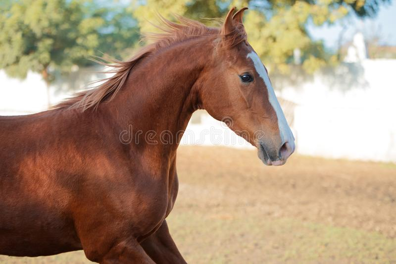 Portrait of running  chestnut beautiful Marwari mare in paddock. India.  royalty free stock photography