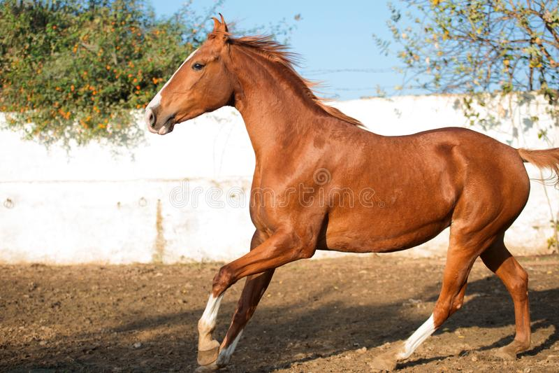 Portrait of running  chestnut beautiful Marwari mare in paddock. India stock images