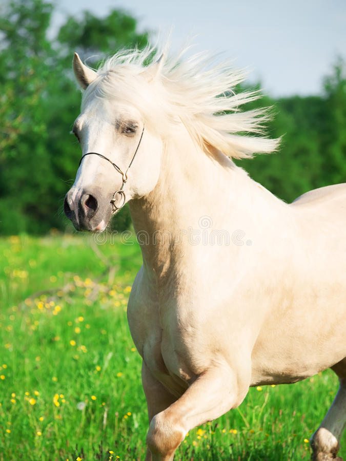 Portrait of running palomino welsh pony in blossom field. Outdoor royalty free stock photos