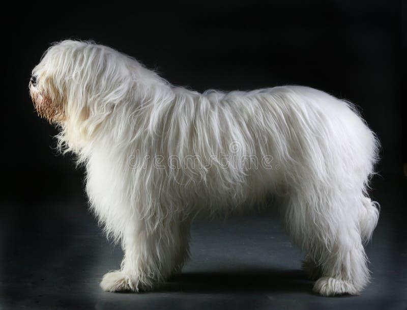 Portrait russe de chien de berger photographie stock