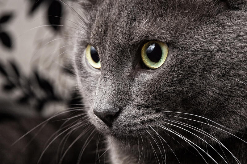 Download Portrait Of Russian Blue Cat Stock Image - Image: 26609771