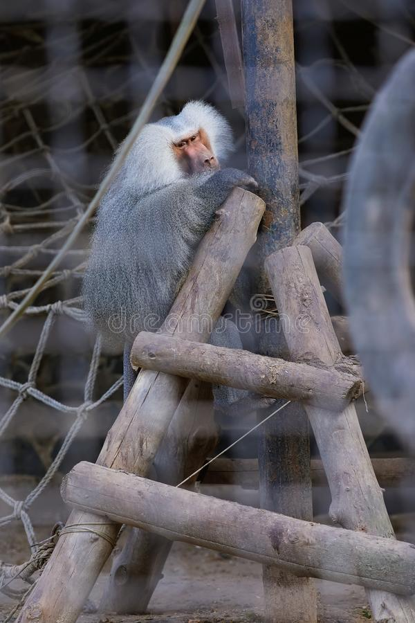 Portrait of sad Hamadryas baboon Papio hamadryas royalty free stock photo