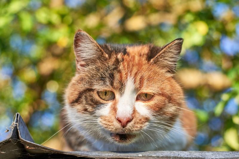 Portrait of a sad homeless cat sitting on the roof against the background of trees, homeless animal theme. Portrait of a sad cute homeless cat sitting on the royalty free stock photo