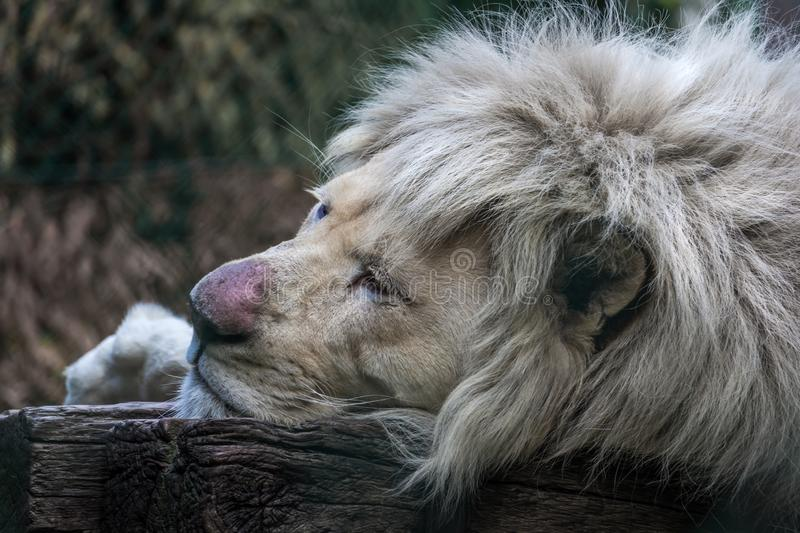 Portrait of king of animals royalty free stock photo