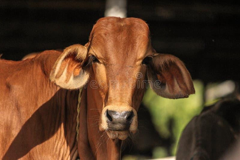 Portrait sahiwal de race de jeune taureau indien de bétail de zébu photos stock