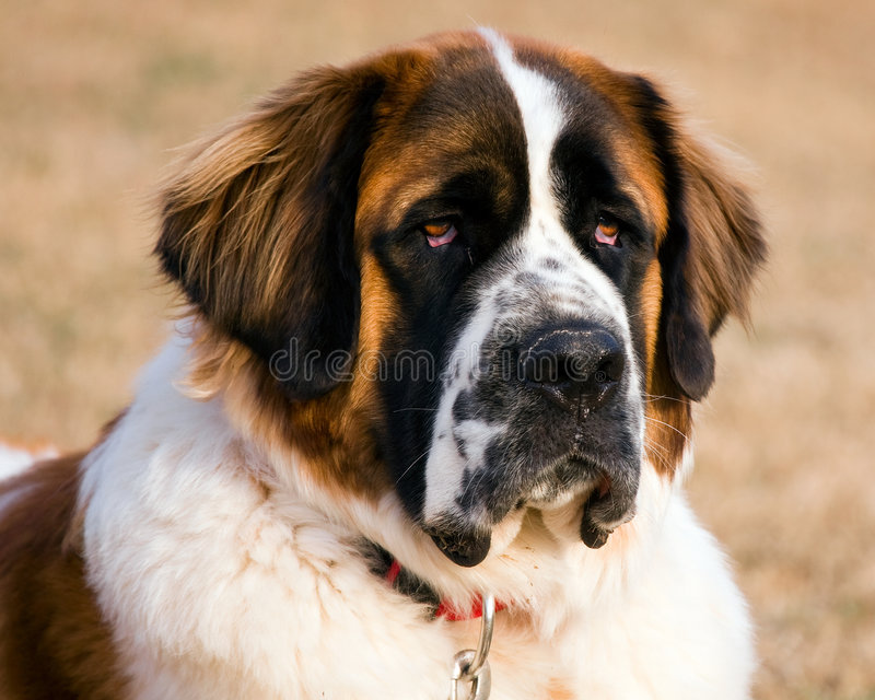 Portrait of a Saint Bernard stock images
