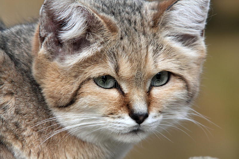 Portrait of a Sand Cat (Felis margarita). The Sand Cat – also known as the Sand Dune Cat - lives in the deserts of northern Africa and southwest and stock image