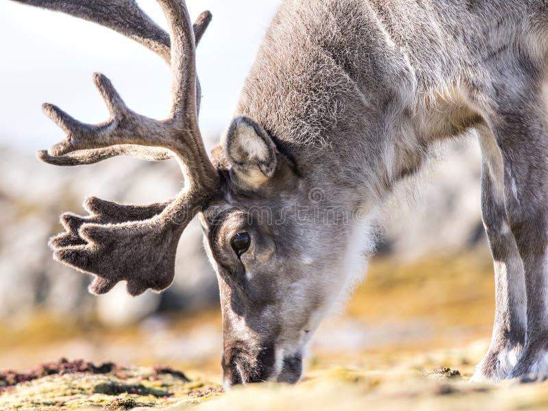 Portrait sauvage de renne - Arctique, le Svalbard image libre de droits