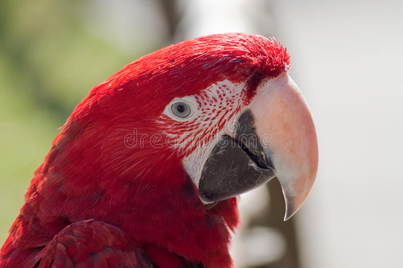 Download Portrait Of A Scarleet Macaw Stock Image - Image: 29680407