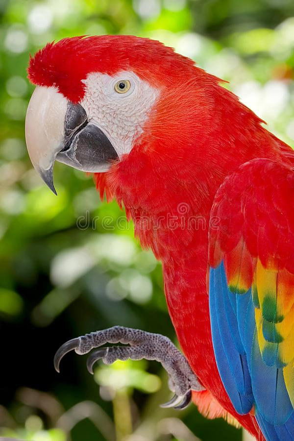 Portrait Of A Scarlet Macaw Saying Hello stock photos