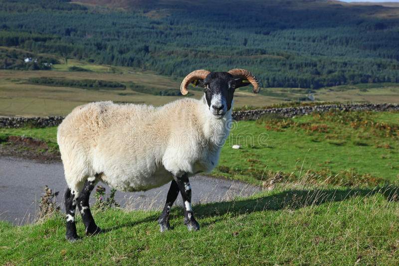 Portrait of a Scottish blackface sheep, Quirain, Isle of Skye, S. Cotland UK stock photos