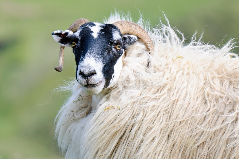 Portrait of a Scottish blackface sheep, Scotland. Portrait of a Scottish blackface sheep (Quirain, Isle of Skye, Scotland stock photos