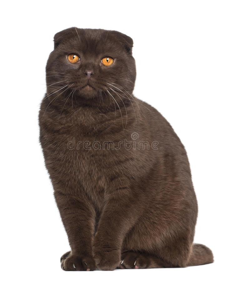 Download Portrait Of Scottish Fold Cat, 1 Year Old Stock Image - Image: 25517545