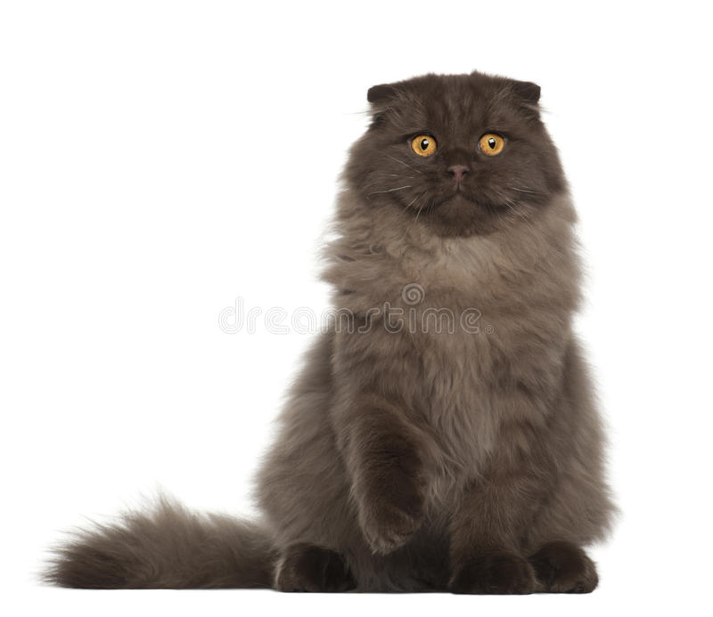 Portrait Of Scottish Fold Cat Stock Images