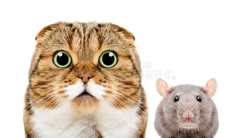 Portrait of Scottish Fold cat and gray rat. Closeup, isolated on white background stock photos