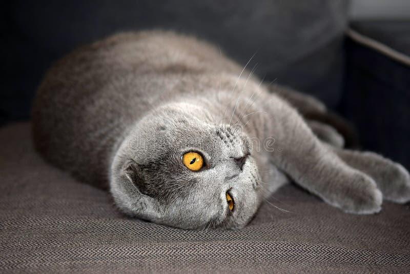 Portrait of scottish fold cat. Portrait of young scottish fold cat , gray color stock images