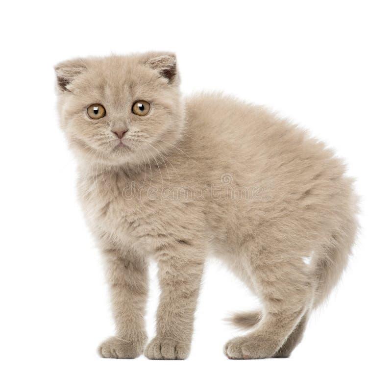 Download Portrait Of Scottish Fold Kitten, 9 Weeks Old Stock Image - Image: 27270885