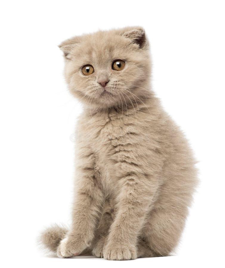 Portrait of Scottish Fold Kitten sitting
