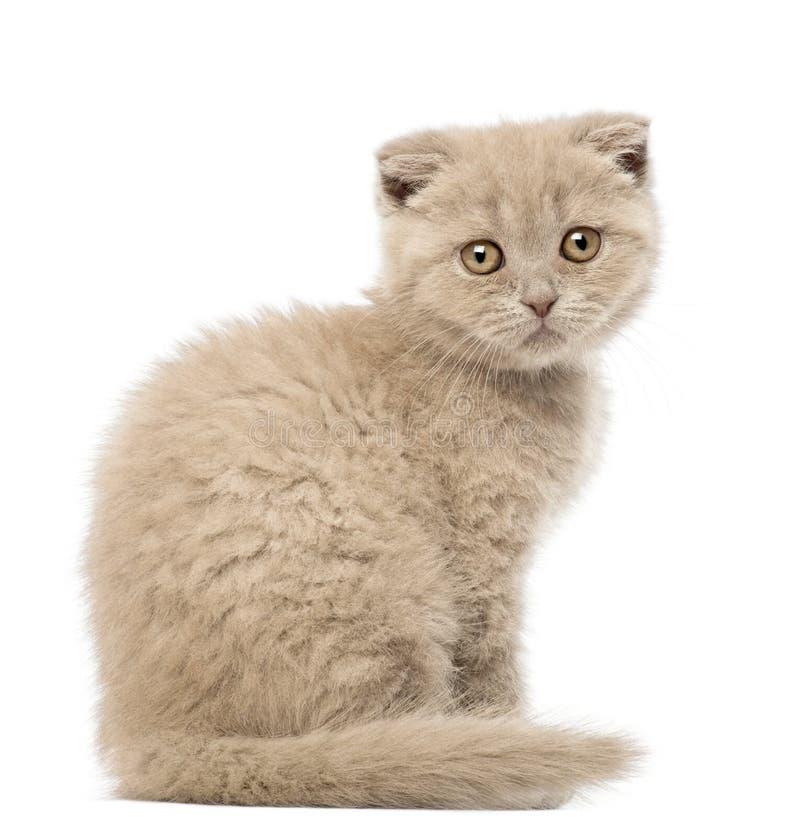 Download Portrait Of Scottish Fold Kitten Sitting Stock Photo - Image of white, alone: 27270938