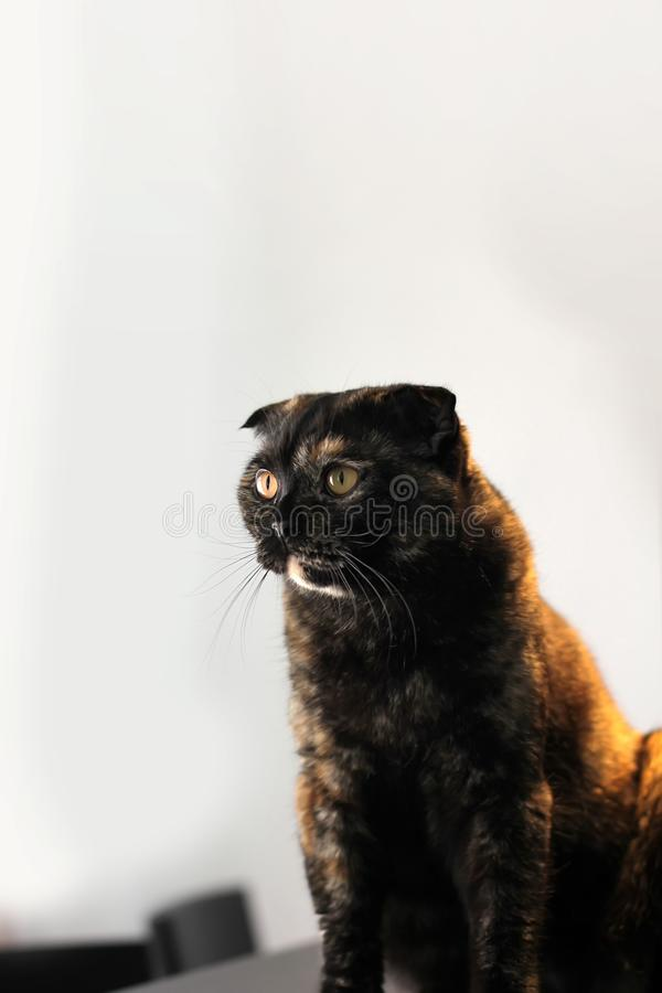 Portrait of Scottish fold tortoiseshell cat sitting on a table against a white wall stock photos