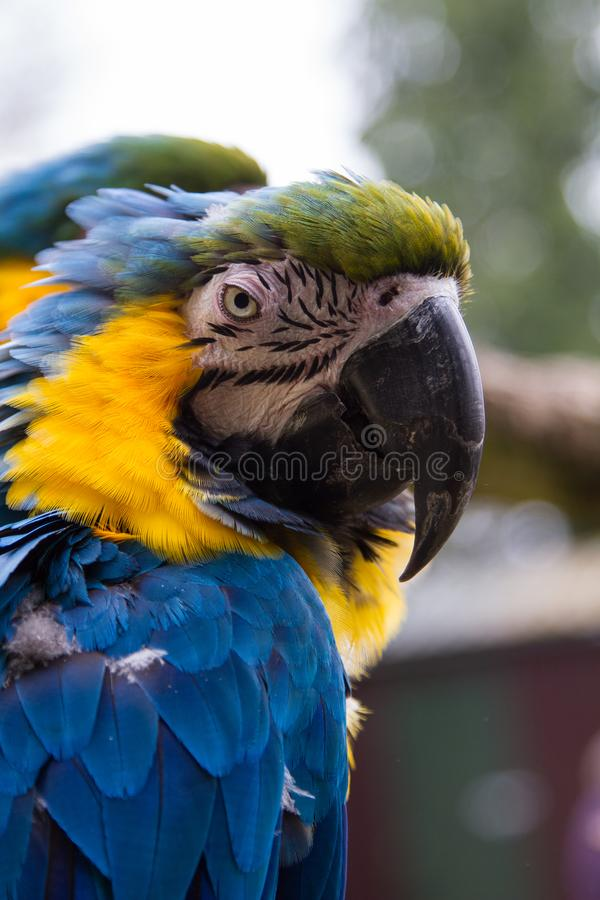 Portrait of a scruffy Macaw Parrot stock photo