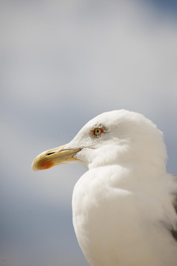 Portrait of a sea gull stock photography