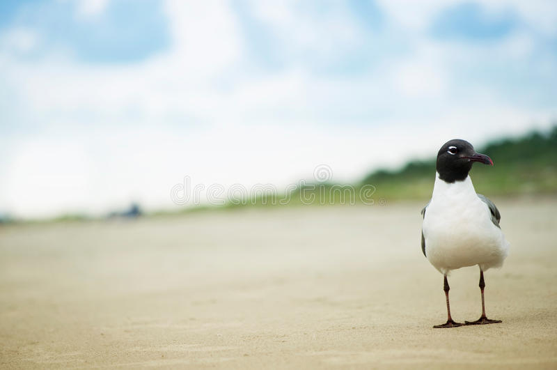 Portrait of a Seagull royalty free stock image