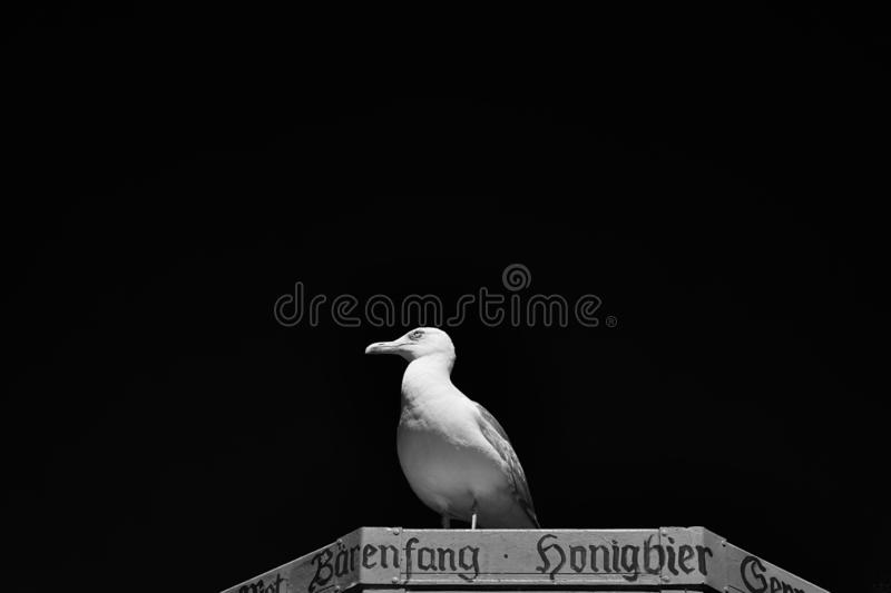 Portrait of seagull against a black background stock image