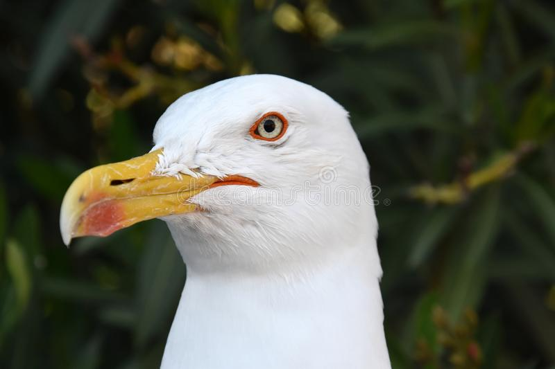 Portrait of a seagull waiting for feed stock photography