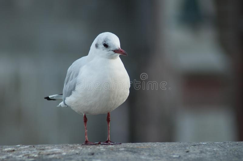 Seagull standing on stone wall in border rhine in Basel Switzerland. Portrait of seagull standing on stone wall in border rhine in Basel Switzerland stock photography