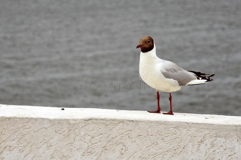 Portrait of a seagull walking on white border by water. royalty free stock images