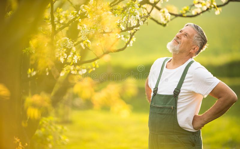 Portrait of senior man gardening, taking care of his lovely orchard royalty free stock photo