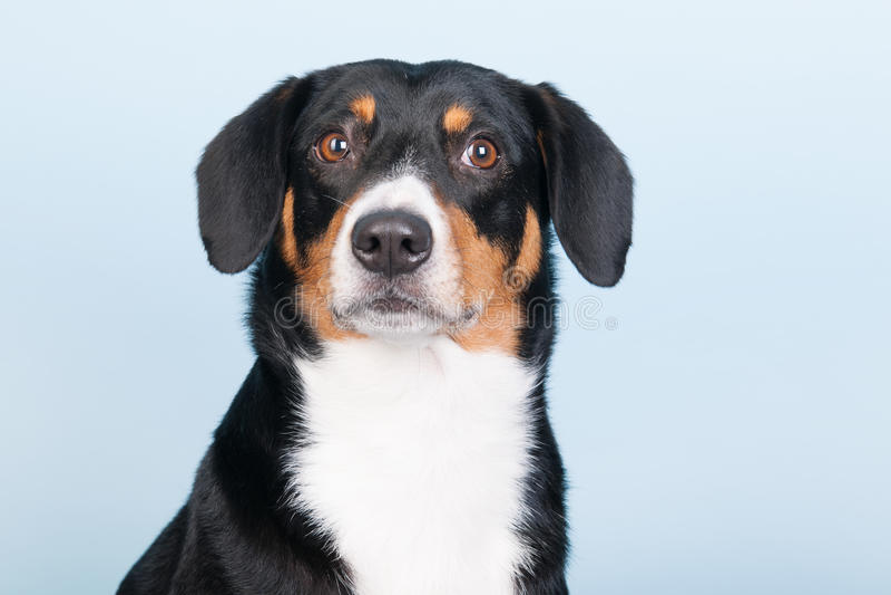 Portrait Sennen hund stock photos